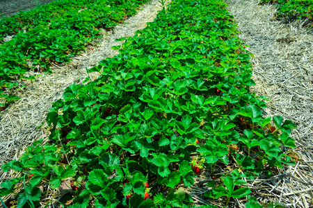 New harvest of sweet fresh outdoor red strawberry, growing outside in soil, rows with ripe tasty strawberries, agriculture farm of strawberry field