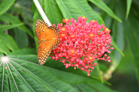 possibly: Photo of an orange and black butterfly (possibly a Mexican Silverspot) sitting on a pink flower with yellow polen buds