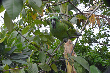 Photo of a yellow-naped amazon parrot perched in a tree