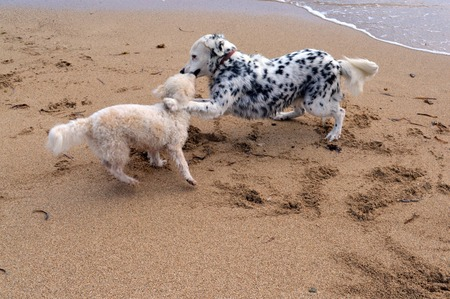 This is a photo of two dogs playing on the beach