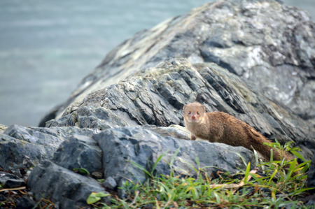 This is a photo of a mongoose posing for a shot on the rocks