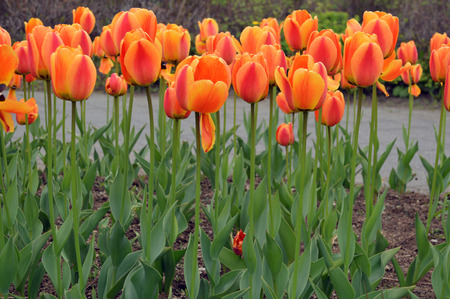Orange tulips in various stages of blooming