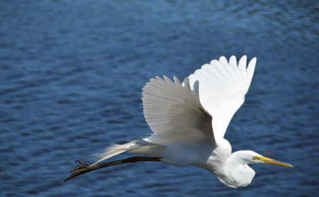 Photo of an egret taking flight in Florida