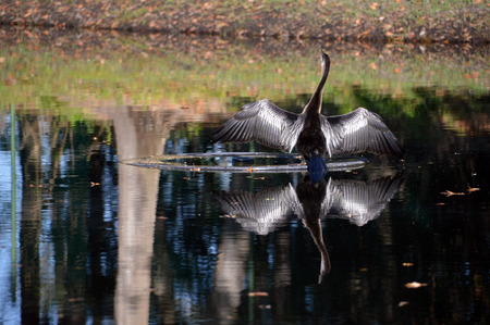 A bird on a pond with wings spread reflecting on the water