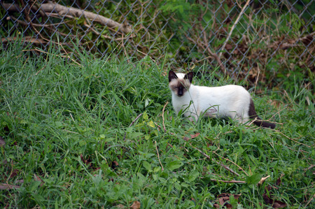 A brown and white cat hunting a garden lizard Stock Photo