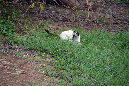 A cat laying in wait for a garden lizard