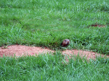 A gopher as he peeks prior to exiting his burrow