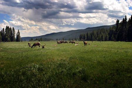uplifting: Colorado campo con Elk  Foto de archivo