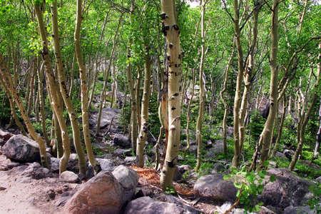 森の中でバーチの木