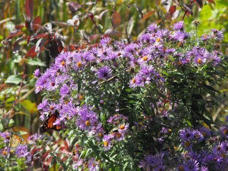 Monarch Butterflies on wild aster flowers