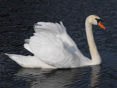 Adult Mute Swan swimming Stock Photo