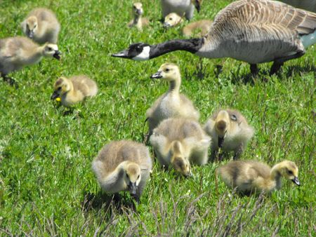Adult Canada Goose and goslings heading for the lake