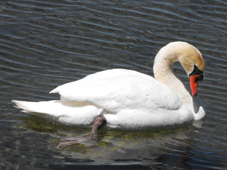 Adult Mute Swan relaxing in calm water near the shore