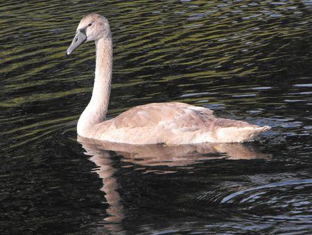 Juvenile Mute Swan starting to turn white