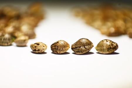 varieties: Hemp seeds comparing different varieties Stock Photo