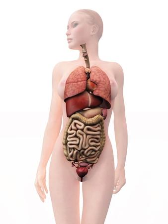내부의: internal human organs, woman