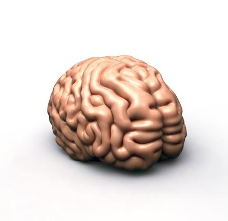 human brain on white Stock Photo - 12997274