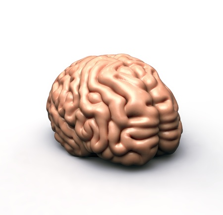 human brain on white Stock Photo - 12997274