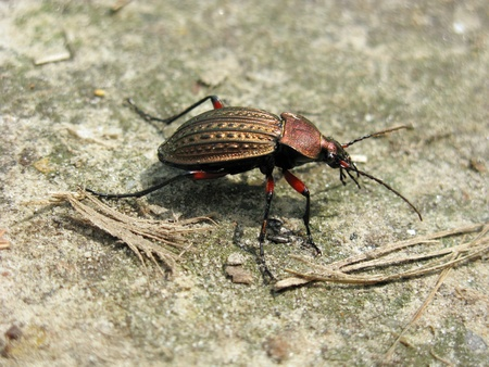 Carabus granulatus Stock Photo - 13464436