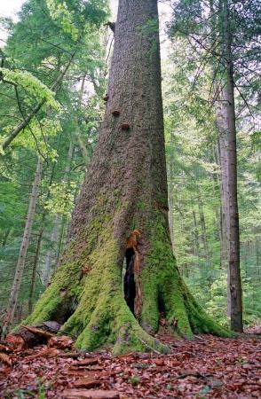 ocas: árbol grande y viejo en el bosque