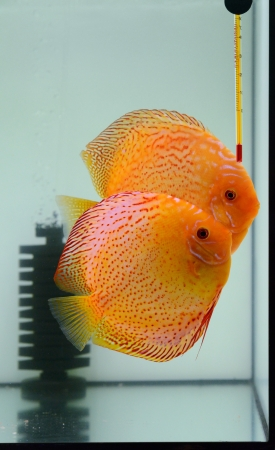 discus: fire discus in aquarium Stock Photo