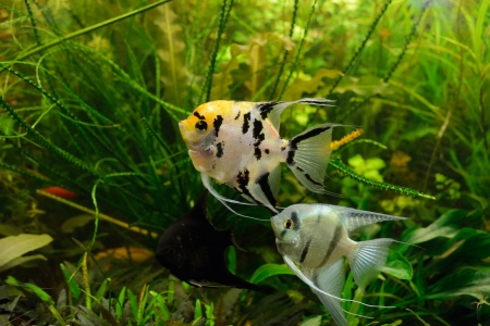 scalare: Pterophyllum scalare fish in aquarium Stock Photo