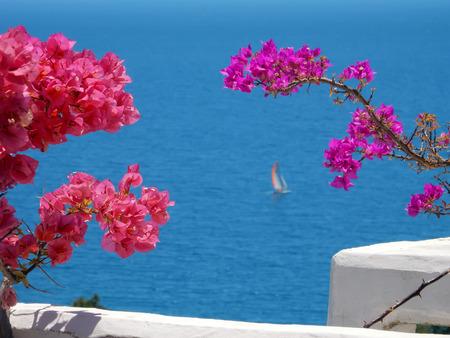 bougainvillea: blooming bougainvilleas against the blue sea