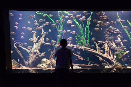 piranha: child look at a large aquarium with piranha Stock Photo