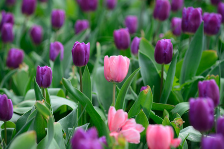 Field of purple tulips Stock Photo
