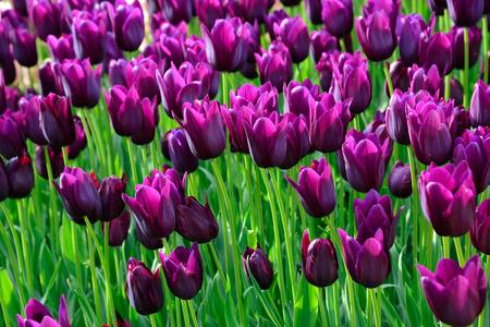 tulip: Pola tulipanów purpurowy