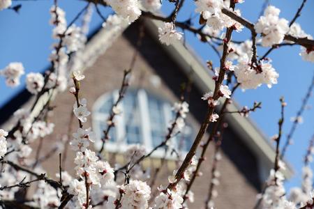 roof windows: Tree of flowering apricot