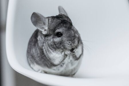 Cute gray chinchilla eat food on white background Stock Photo