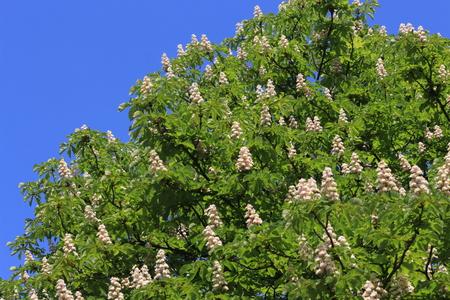 Chestnut Blossoms Banque d'images