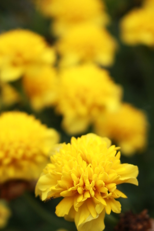 Yellow marigolds Banque d'images