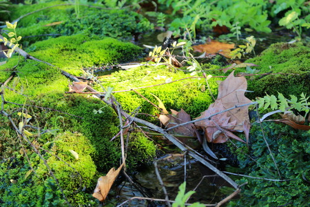sycamore leaf: the moss on the rocks Stock Photo
