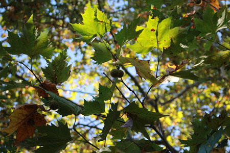 Fruits Sycamore