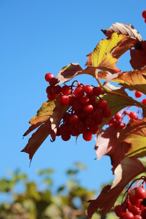 Ripe red berries against the sky Banque d'images