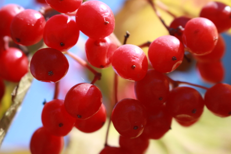 Ripe red berries