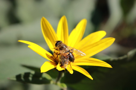 Bee on yellow flower