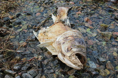 Dead fish on the river bank