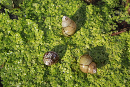 Snails on duckweed near the river