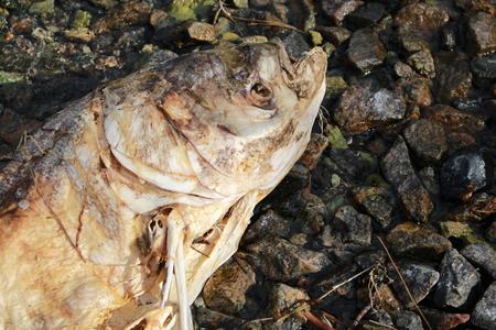 Dead fish on the shore Banque d'images