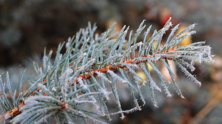 Ice crystals on the needles