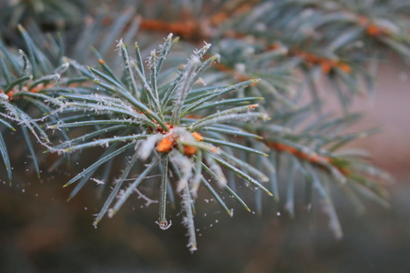 Needles Christmas tree covered with ice crystals Banque d'images