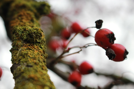 Red berries dog-rose