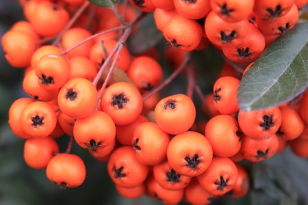 Edible fruits are used for sea buckthorn oil used in medicine.