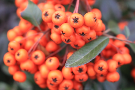 Small fruits of sea buckthorn