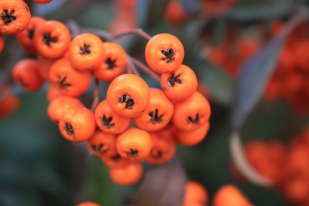 Orange fruits of sea buckthorn