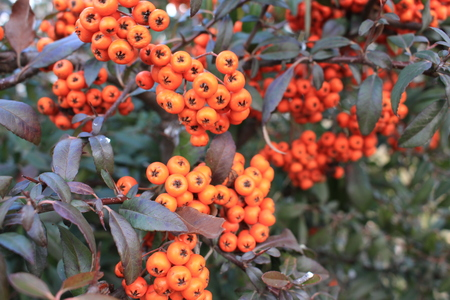 Fruits of sea buckthorn are used to produce oil.