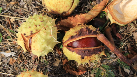 A ripe chestnut lies on the grass.